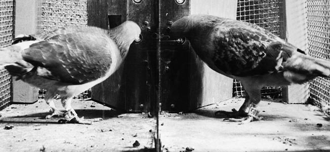 Behavioral psychologist B.F. Skinner trained pigeons to guide an early missile system.