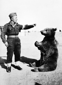 Syrian bear Wojtek, the famous mascot of the Polish 22nd Artillery Support Company, gets a snack.
