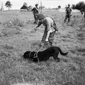 Bobs, a Laborador serving with the No. 1 Dog Platoon of the British Royal Engineers, locates a buried mine in France in July 1944.