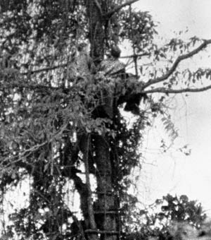 A rare photo shows a coastwatcher occupying an observation post in a tree on New Guinea.