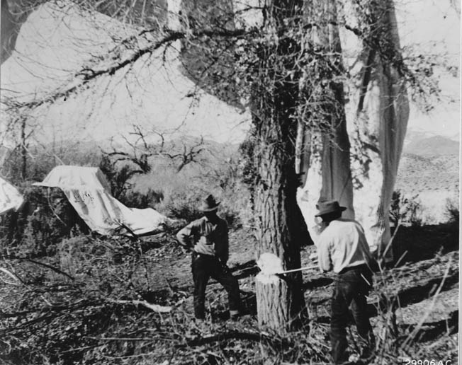 Men chop down a tree to retrieve a Japanese incendiary bomb. Most of these balloon bombs, released from Japan, landed harmlessly and failed to create the hoped-for results.