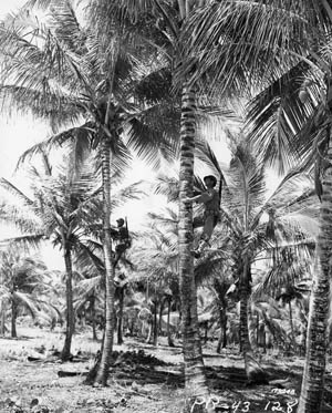 Two snipers of the U.S> Army's 296th Infantry Regiment edge up tall palm trees with the aid of pole climbers during a training exercise in Puerto Rico in March 1943. Concealing themselves among the fronds of a palm tree was a favorite tactic of Japanese snipers.